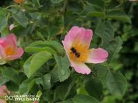 снимка 2 Капчици и пчели