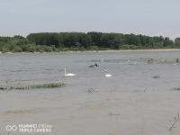 Лебеди край Дунава