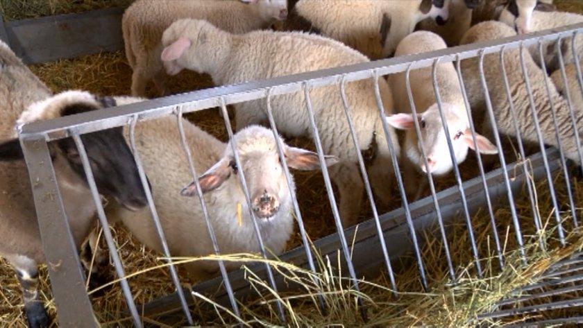 бабх правила клането агнета ферми