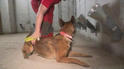 Обучават кучета да надушват заразени с коронавирус