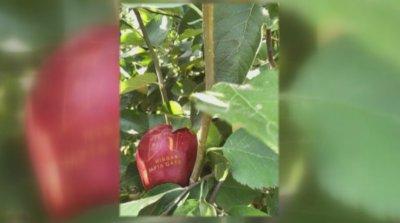 Ябълкова градина в центъра на Пловдив