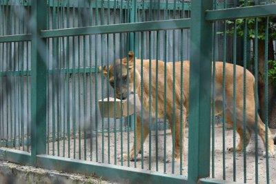 #60 секунди без COVID-19: Лъвът Любо от зоопарка в Разград вече е на диета