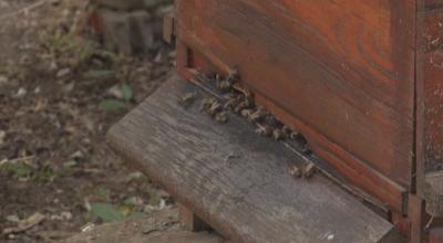 Каква е причината за измрелите пчели в Плевен и Добрич?