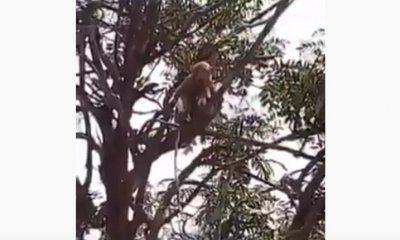 Новината на деня: Маймуни свиха кръвни проби за COVID-19 в Индия
