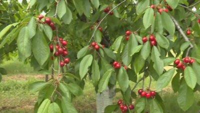 На 60 ст. изкупуват черешите в Кюстендилско, стопани се отказват да прибират реколтата