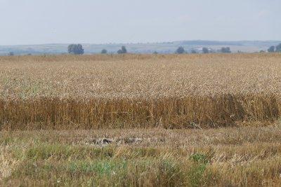Сушата изгорила 28 хил. декара с есеници, но: Хляб ще има!