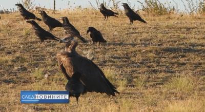 """""""След новините"""": Лешоядът Ултрон - какво стои зад убийството на една защитена птица?"""