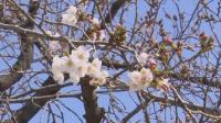 В Токио се радват на цъфналите вишни