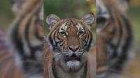 Тигър е заразен с COVID-19 в зоопарк в Ню Йорк