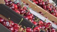 Проблеми с брането и продажбата на череши очакват производителите тази година