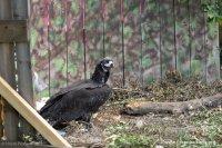 Прекършеният полет! Лешоядът Ултрон – убит от бракониери в Кърджалийско