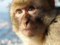 В Гибралтар забраниха на туристите да докосват маймуните
